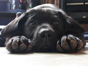 Собака Лабрадор Ретривер - Характеристика Описание Происхождение Дети